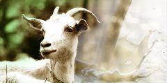 فوائد حليب الماعز للعقم