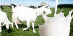 حليب الماعز وفوائده